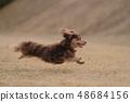 达克斯猎犬Kaninhaen可爱 48684156