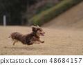 达克斯猎犬Kaninhaen可爱 48684157