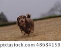 达克斯猎犬Kaninhaen可爱 48684159