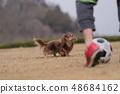 达克斯猎犬Kaninhaen可爱 48684162