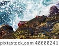 Crabs on the wet rocky shore against sea waves. 48688241
