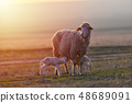 Two newborn lambs and sheep on field in warm 48689091