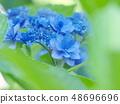 用綠色葉子蓋的八仙花屬 48696696