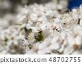 Blooming white cherry 48702755