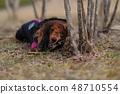 达克斯猎犬Kaninhaen可爱 48710554