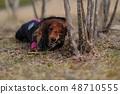 达克斯猎犬Kaninhaen可爱 48710555