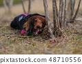 达克斯猎犬Kaninhaen可爱 48710556