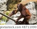 Young orangutan climbing rope 48711090
