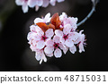 Spring pink cherry blossoms. Spring floral background 48715031