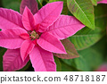 분홍색 포인세티아 꽃 48718187