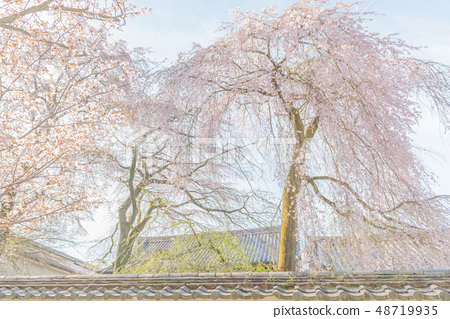 Kyoto · Daigo's cherry-blossom viewing 48719935