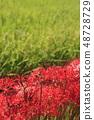 Clary amaryllis 48728729