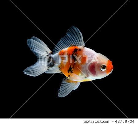 goldfish isolated on a dark black background 48739704