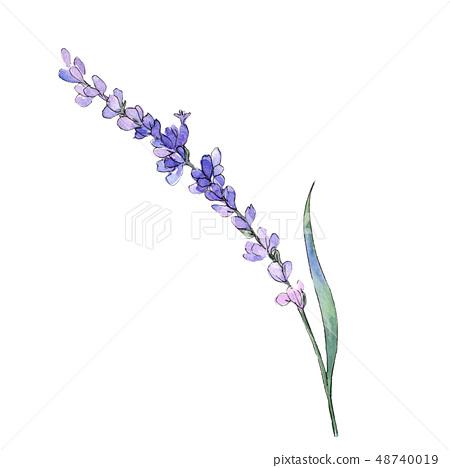 Violet lavender floral botanical flower. Watercolor background illustration set. Isolated lavender 48740019