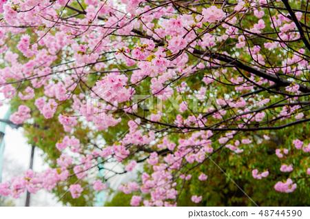 櫻花在雨中,櫻花盛開Kanazan櫻花,上野香公園 48744590