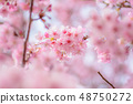"""일본식 이미지 """"카와 벚꽃"""" 48750272"""