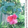 玫瑰 48760168