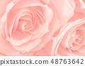 핑크 오와의 장미 48763642