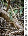 Crested Lizard in jungle, Khao Sok, Thailand 48765873