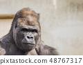 大猩猩西低地大猩猩 48767317