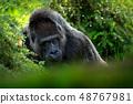 Western lowland gorilla, detail head portrait 48767981