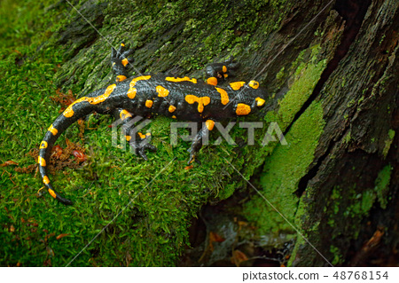 Fire Salamander, spotted amphibian on the tree 48768154