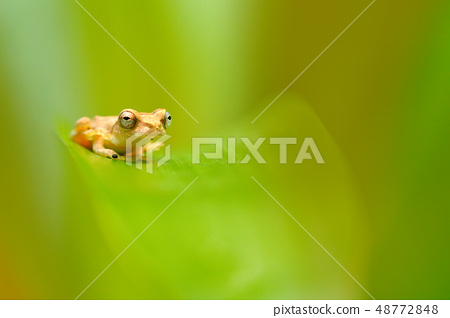 Small-headed Tree frog sitting on the green leave 48772848