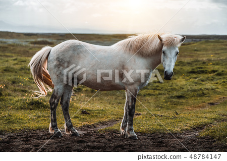 Icelandic horse in scenic nature of Iceland. 48784147