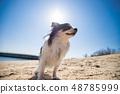 한여름의 바다 모래 사장에있는 귀여운 치와와 48785999
