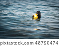 River Otter is Eating Fish While Swimming  48790474