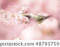 河津櫻花和棕色eyedryhead 48793750