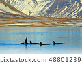 Group of killer whale near the Iceland mountain 48801239