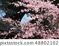Amohiki Kannon的Kawazu櫻花 48802102