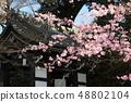 Amohiki Kannon的Kawazu櫻花 48802104