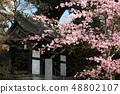 Amohiki Kannon的Kawazu櫻花 48802107