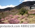 Amohiki Kannon的Kawazu櫻花 48802109