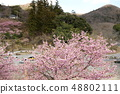 Amohiki Kannon的Kawazu櫻花 48802111