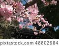 Amohiki Kannon的Kawazu櫻花 48802984