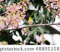 벚꽃과 동박새 48805158