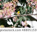 벚꽃과 동박새 48805159