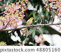 벚꽃과 동박새 48805160