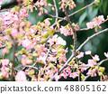 벚꽃과 동박새 48805162