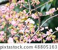 벚꽃과 동박새 48805163