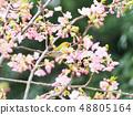 벚꽃과 동박새 48805164
