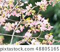 벚꽃과 동박새 48805165