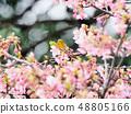 벚꽃과 동박새 48805166