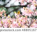 벚꽃과 동박새 48805167