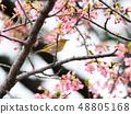 벚꽃과 동박새 48805168