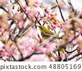 벚꽃과 동박새 48805169