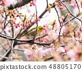 벚꽃과 동박새 48805170